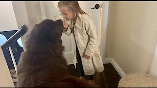 Little girl plays detective with giant Newfoundland