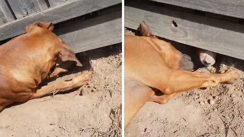 Neighbor dogs dig hole under fence to play with each other