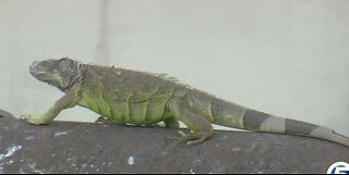 Green iguana population exploding in South Florida