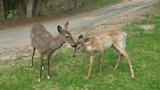 Mother deer & fawn surprisingly calm around humans
