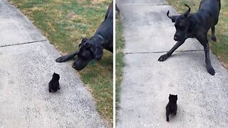 GIANT GREAT DANE GIVES A WHOLE NEW MEANING TO THE TERM 'SCAREDY CAT' BY BEING FRIGHTENED BY TINY KITTEN
