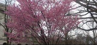 Cherry blossoms in full bloom during spring break