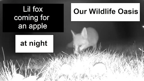Lil fox is stealing an apple at night in Our Wildlife Oasis