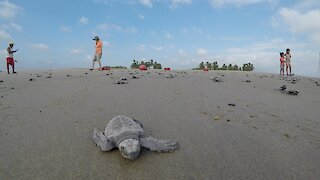 Hundreds of baby turtles race to the sea