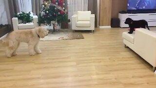 Goldendoodle stalks puppy, adorably chases after him