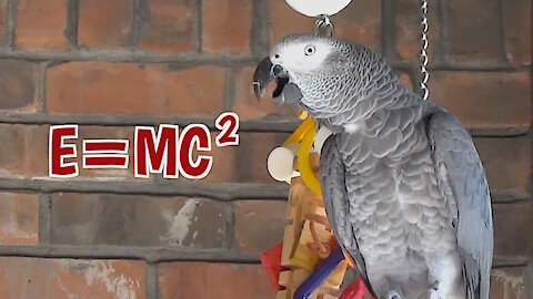 Einstein the talking parrot talks about the Theory of Relativity