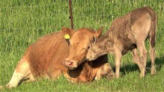 Thirsty calf adorably nudges his tired mother for milk