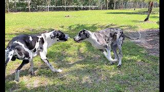 Joyful New Great Dane Friends Run Flying Zoomies