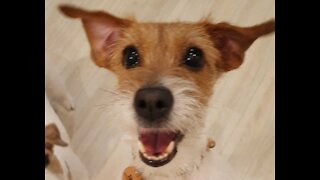Clever Jack Russell successfully learns how to open sliding door