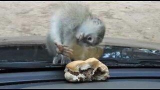 Ape prøver å spise ...gjennom et glass!