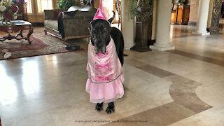 Great Dane looks pretty in princess Halloween costume