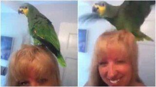 Denne papegøyen elsker eierens hårføner!