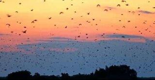 Milhares de morcegos voam ao nascer do sol em África