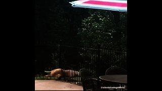 Golden Retriever miraculously squeezes through tiny fence