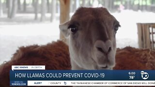 How llamas could help prevent COVID-19