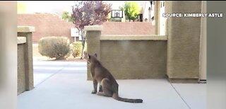Mountain lion caught in Las Vegas