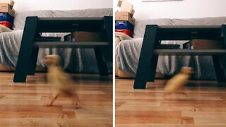 Adorable duckling hilariously chases owner across the room