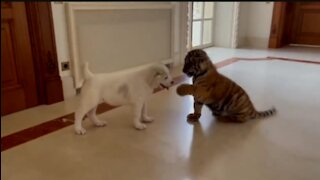 Dog 🆚 Baby tiger funny fighting video