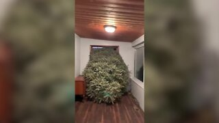 Michigan family brings home massive Christmas tree every year for decades