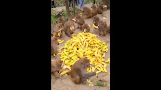 Monkeys eat bananas. What a clever monkey