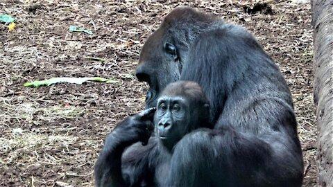 Gorilla mother & baby enjoy heartwarming cuddle time under tree