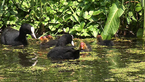 Dad and Ma Coot feeding their cute little chicks