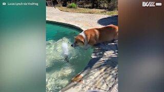 Corgi tenta nadar no ar!