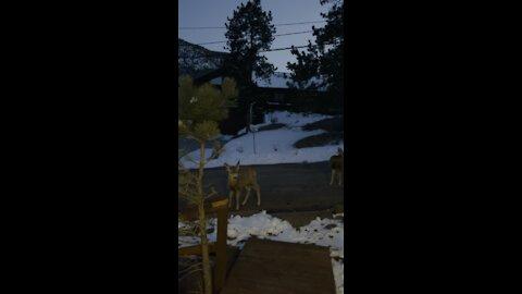 A herd of wild mule deers showed up in town.