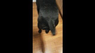 Cane corso makes fast tail movement while eating