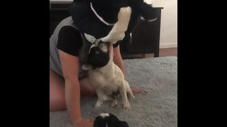 French Bulldog confused by Frenchie mascot head