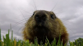 Curious gopher steals GoPro, carries it into her den