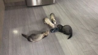 Pack of ferrets attack remote controlled cat