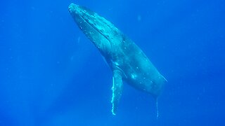 Humpback whales rise from ocean floor right beside thrilled swimmer