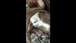 Weirdly snoring cat