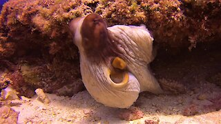Romantic interlude between two octopus will sadly cause their deaths