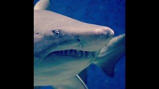 Watch how the shark searches for food in the deep sea