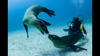 Diving Seal Underwater Animals Stock Footage Scuba Diving