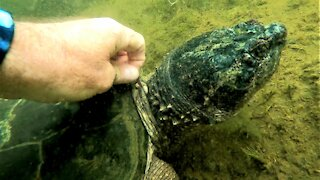 Gigantic snapping turtle allows scuba diver to pull leeches from its neck with his bare hands