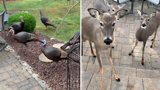 Deer and turkeys gather together in backyard for treats