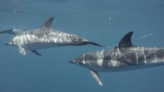 Dolphins sing an underwater symphony
