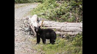 Coastal Black Bear Hunting - Spring