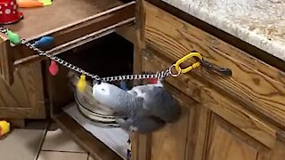 Parrot performs Cirque du Soleil act while decorating for Christmas