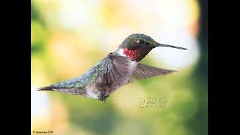 RUBY THROATED FEMALE HUMMINGBIRD, SHORT BUT SOOO SWEET!