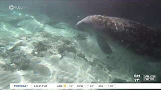 Full Circle: Manatee deaths reach catastrophic levels with no easy fix