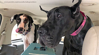 Funny Great Danes Are Fussy About Their Chicken Fingers