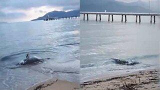 Crocodile feeds on a dead grouper on the beach