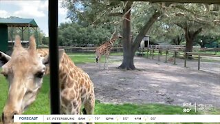 Take a wild safari ride at Dade City's 50-acre Giraffe Ranch wildlife preserve