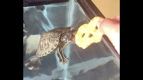 Turtle eats pretzel