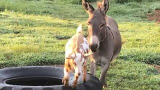 Baby goat and miniature donkey share adorable friendship!