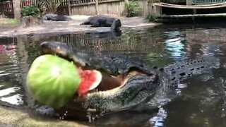 Alligator destroys giant watermelon